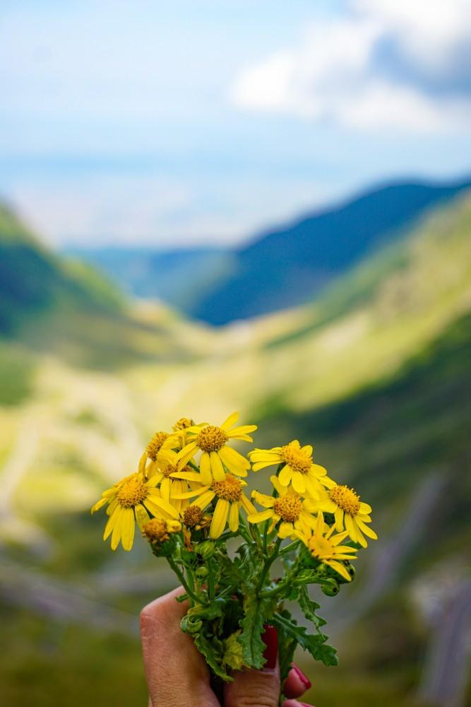 Transfagarasan Flori Peisaj