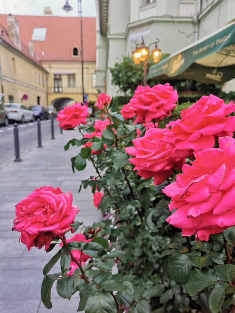Sibiu Trandafiri