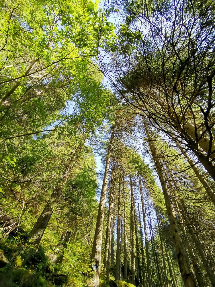 Copaci Zanoaga Chei