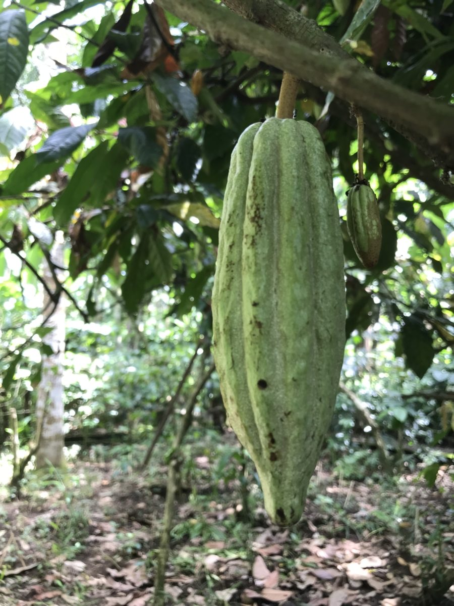 Cacao Planta Bali