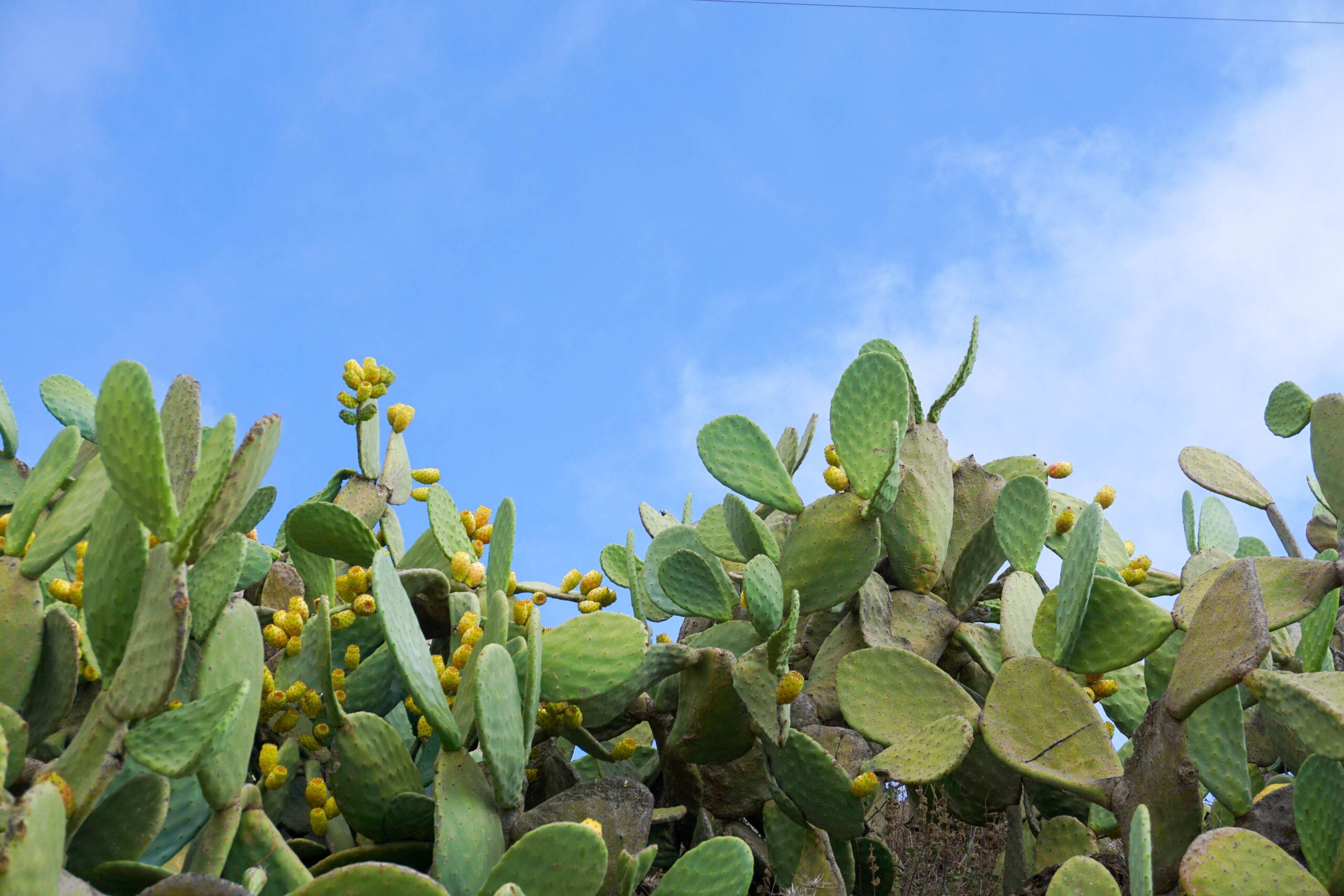 Cactus Santorini