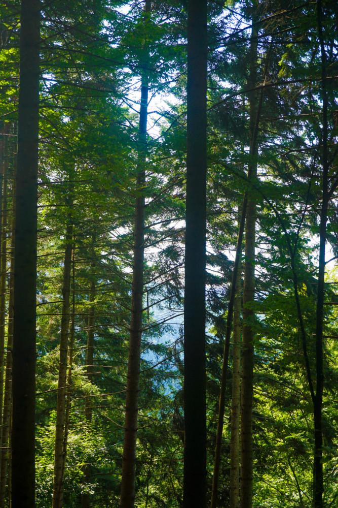 Copaci Padure