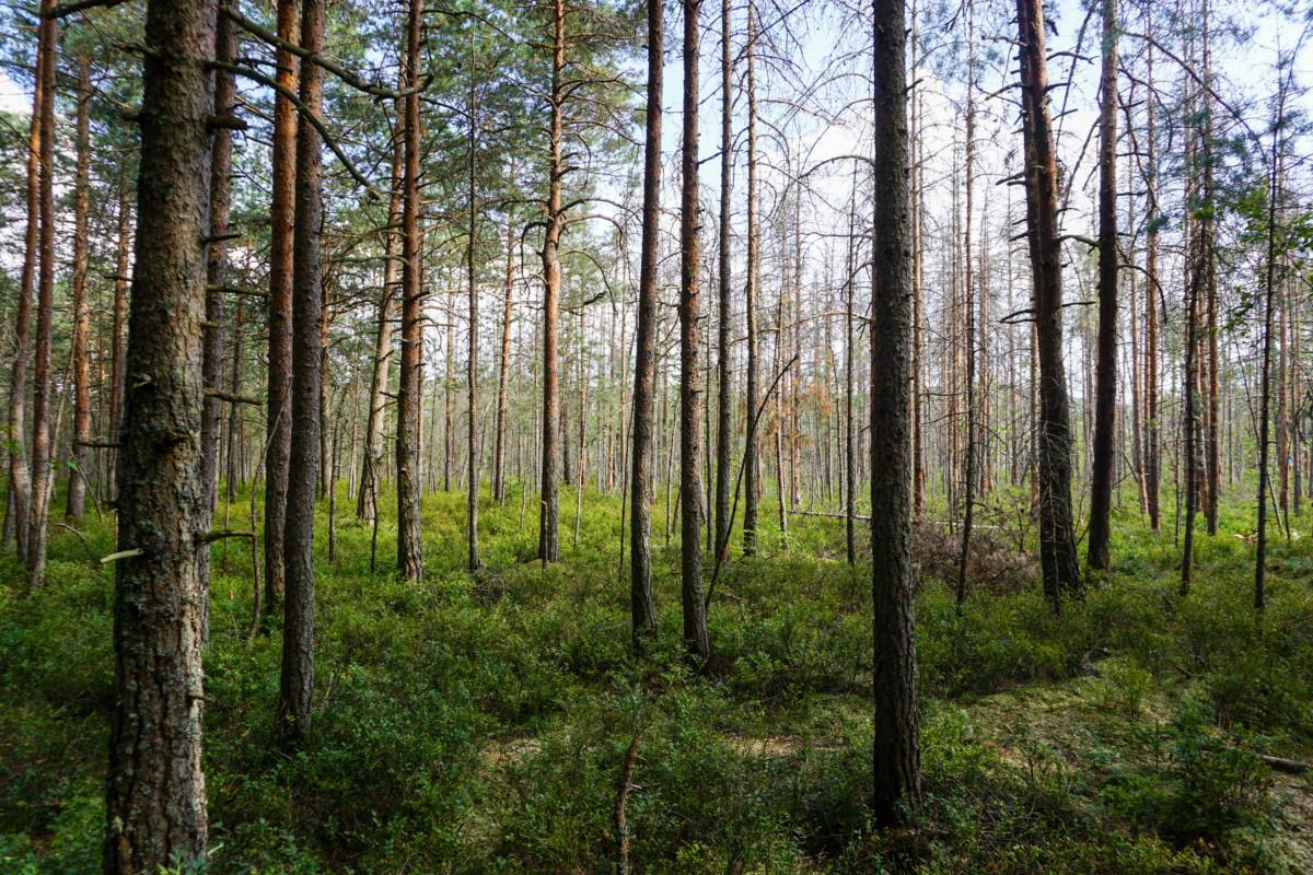 Copaci Tinovul Mohos