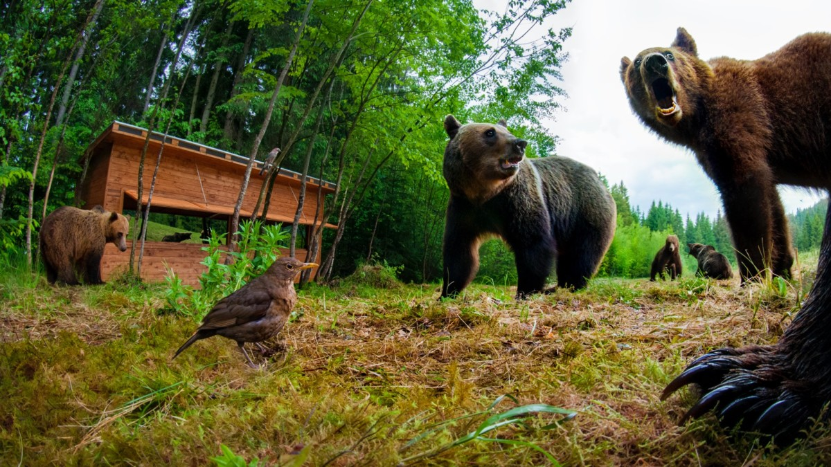 Observator Ursi