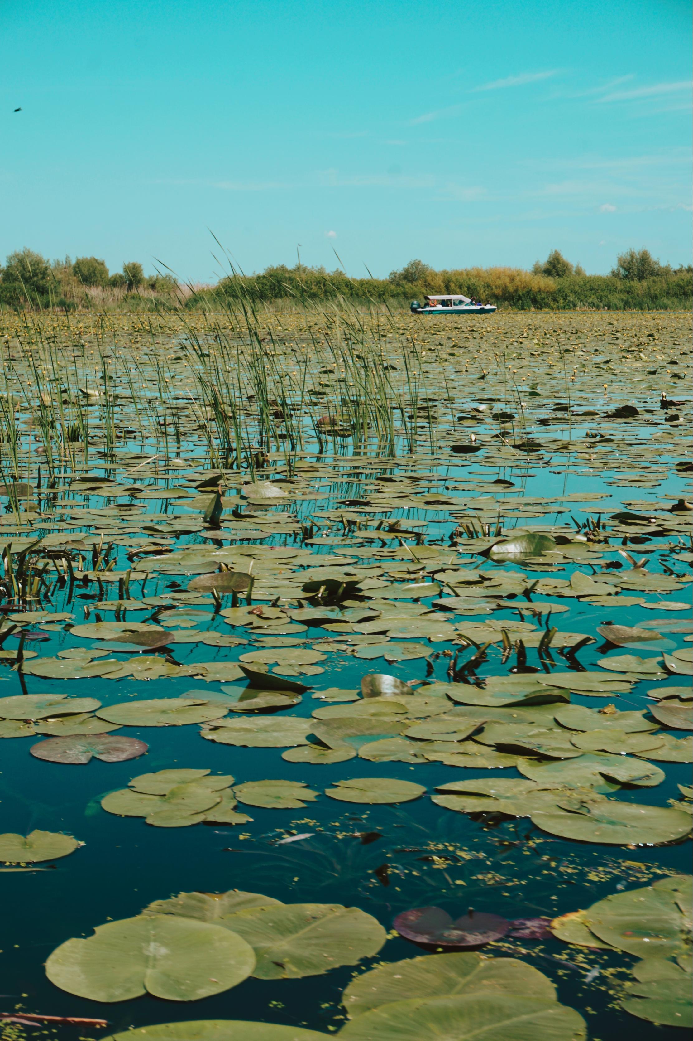 Nuferi Lac Delta