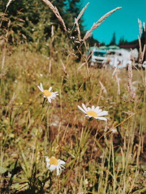 Flori Transalpina Lacul Vidra